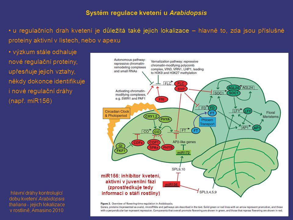 hlavní dráhy kontrolující dobu kvetení Arabidopsis thaliana - jejich lokalizace v rostlině, Amasino 2010 Systém regulace kvetení u Arabidopsis u regulačních drah kvetení je důležitá také jejich lokalizace – hlavně to, zda jsou příslušné proteiny aktivní v listech, nebo v apexu výzkum stále odhaluje nové regulační proteiny, upřesňuje jejich vztahy, někdy dokonce identifikuje i nové regulační dráhy (např.