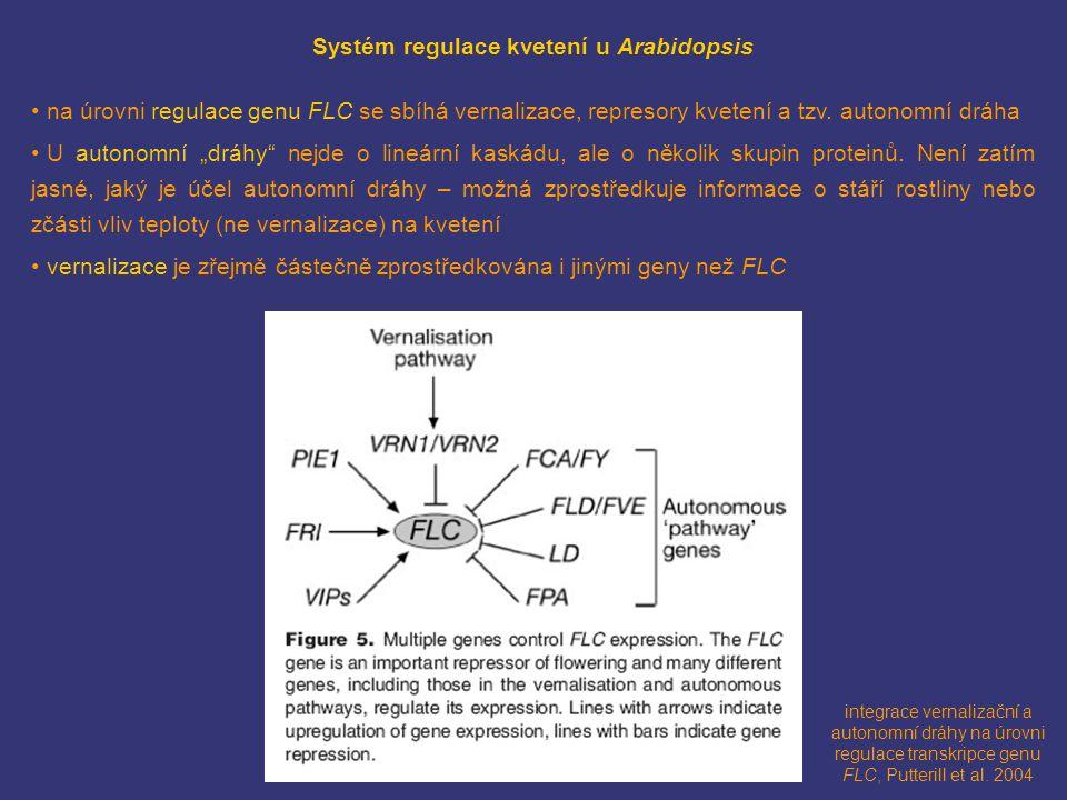 integrace vernalizační a autonomní dráhy na úrovni regulace transkripce genu FLC, Putterill et al. 2004 Systém regulace kvetení u Arabidopsis na úrovn