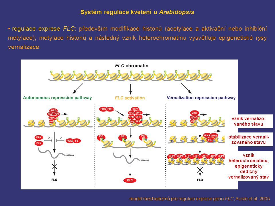 model mechanizmů pro regulaci exprese genu FLC, Ausín et al. 2005 Systém regulace kvetení u Arabidopsis regulace exprese FLC: především modifikace his