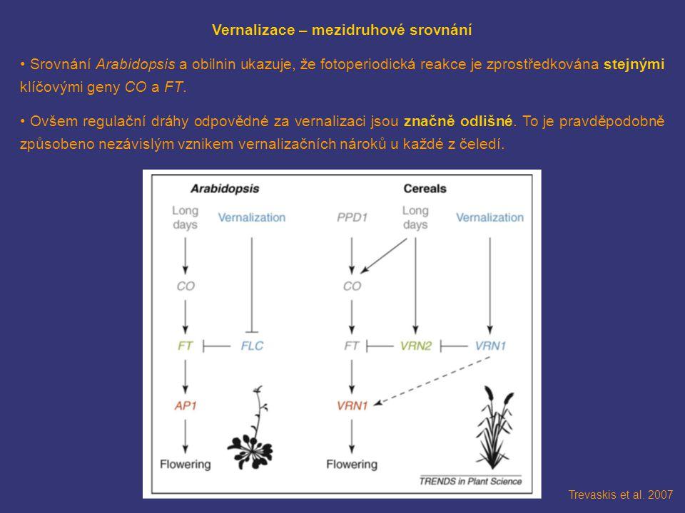 Trevaskis et al. 2007 Vernalizace – mezidruhové srovnání Srovnání Arabidopsis a obilnin ukazuje, že fotoperiodická reakce je zprostředkována stejnými