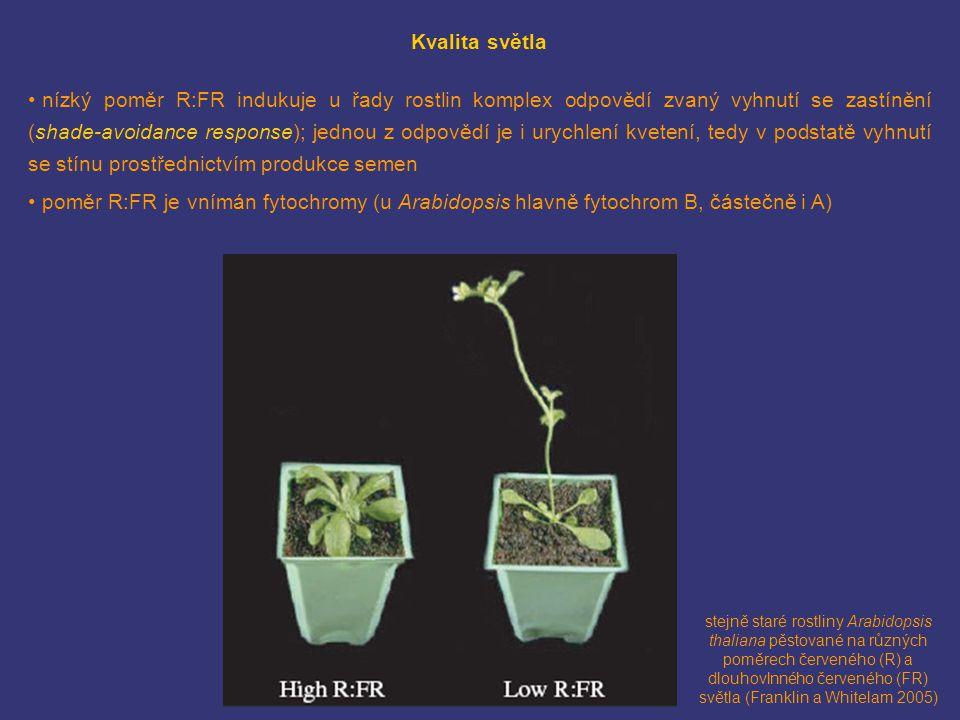 Kvalita světla nízký poměr R:FR indukuje u řady rostlin komplex odpovědí zvaný vyhnutí se zastínění (shade-avoidance response); jednou z odpovědí je i urychlení kvetení, tedy v podstatě vyhnutí se stínu prostřednictvím produkce semen poměr R:FR je vnímán fytochromy (u Arabidopsis hlavně fytochrom B, částečně i A) stejně staré rostliny Arabidopsis thaliana pěstované na různých poměrech červeného (R) a dlouhovlnného červeného (FR) světla (Franklin a Whitelam 2005)