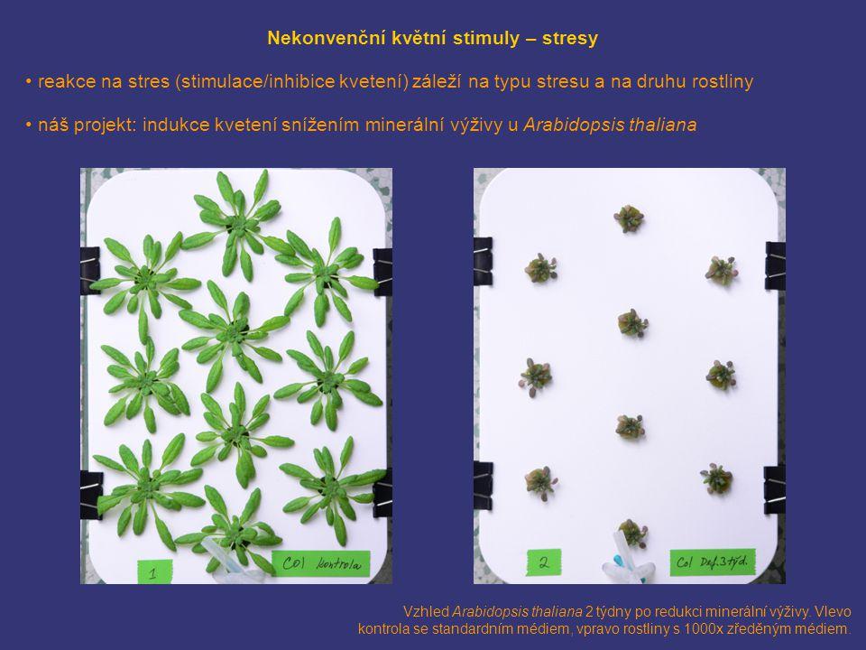 Vzhled Arabidopsis thaliana 2 týdny po redukci minerální výživy. Vlevo kontrola se standardním médiem, vpravo rostliny s 1000x zředěným médiem. Nekonv