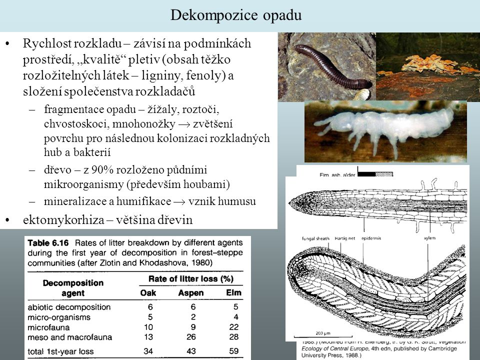 """Dekompozice opadu Rychlost rozkladu – závisí na podmínkách prostředí, """"kvalitě"""" pletiv (obsah těžko rozložitelných látek – ligniny, fenoly) a složení"""