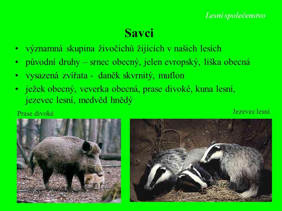 Lesní společenstvo Jezevec lesní Prase divoké Savci významná skupina živočichů žijících v našich lesích původní druhy – srnec obecný, jelen evropský,