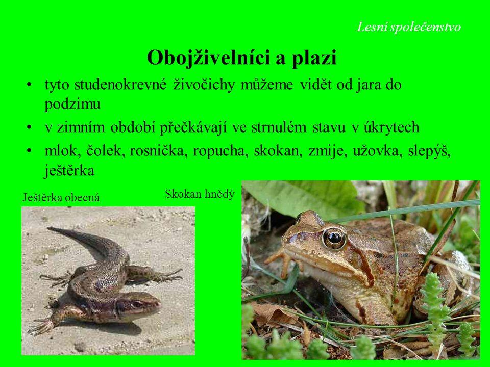 Lesní společenstvo Skokan hnědý Ještěrka obecná Obojživelníci a plazi tyto studenokrevné živočichy můžeme vidět od jara do podzimu v zimním období pře