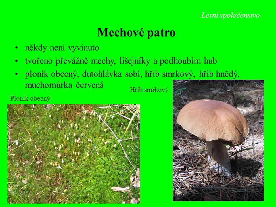 Lesní společenstvo Hřib smrkový Ploník obecný Mechové patro někdy není vyvinuto tvořeno převážně mechy, lišejníky a podhoubím hub ploník obecný, dutoh