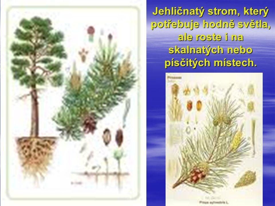 Jehličnatý strom, který potřebuje hodně světla, ale roste i na skalnatých nebo písčitých místech.