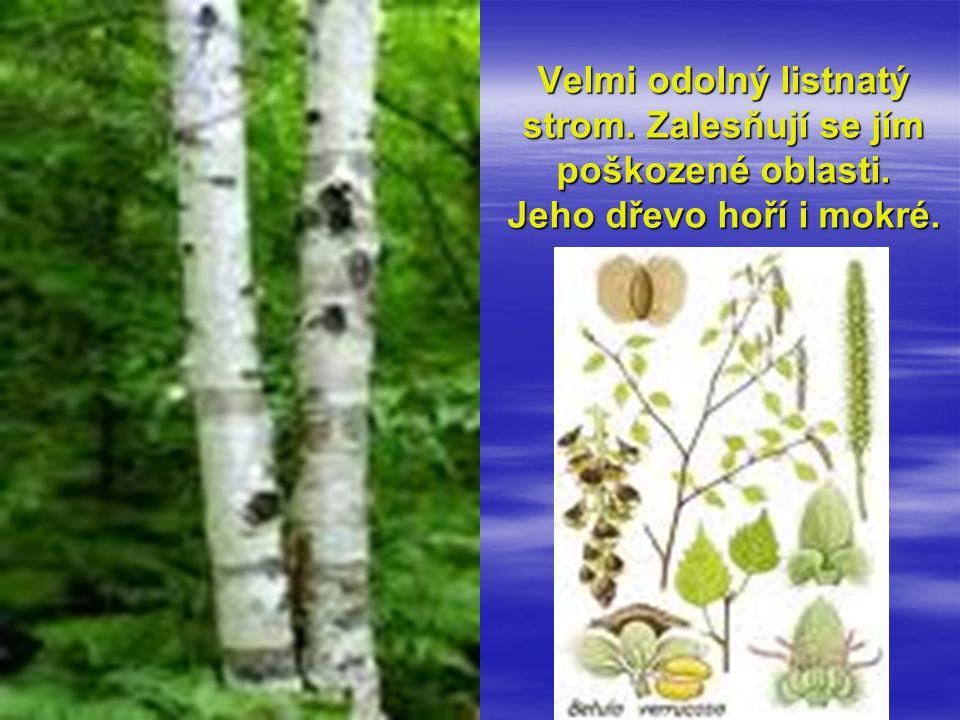 Velmi odolný listnatý strom. Zalesňují se jím poškozené oblasti. Jeho dřevo hoří i mokré.