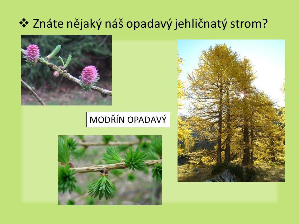  Znáte nějaký náš opadavý jehličnatý strom? MODŘÍN OPADAVÝ