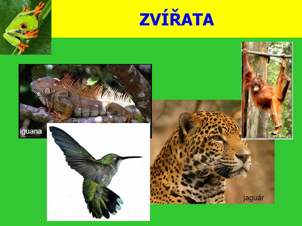 ZVÍŘATA jaguár iguana