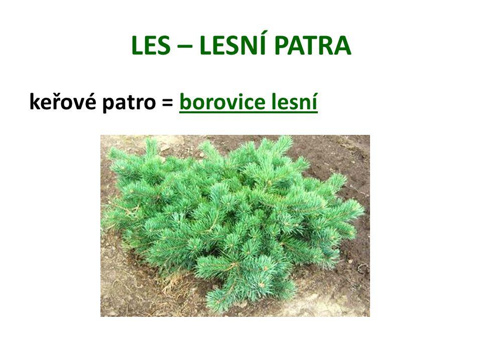 LES – LESNÍ PATRA keřové patro = borovice lesní