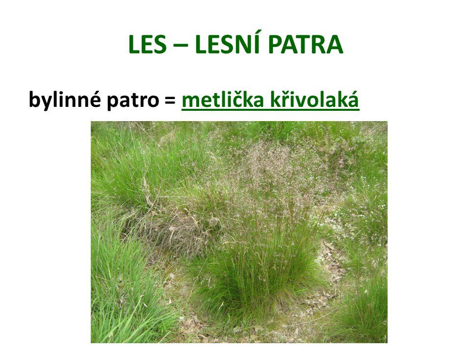 LES – LESNÍ PATRA bylinné patro = metlička křivolaká