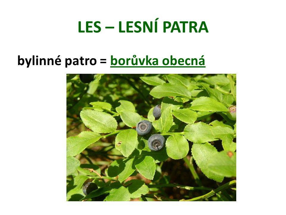 LES – LESNÍ PATRA bylinné patro = borůvka obecná