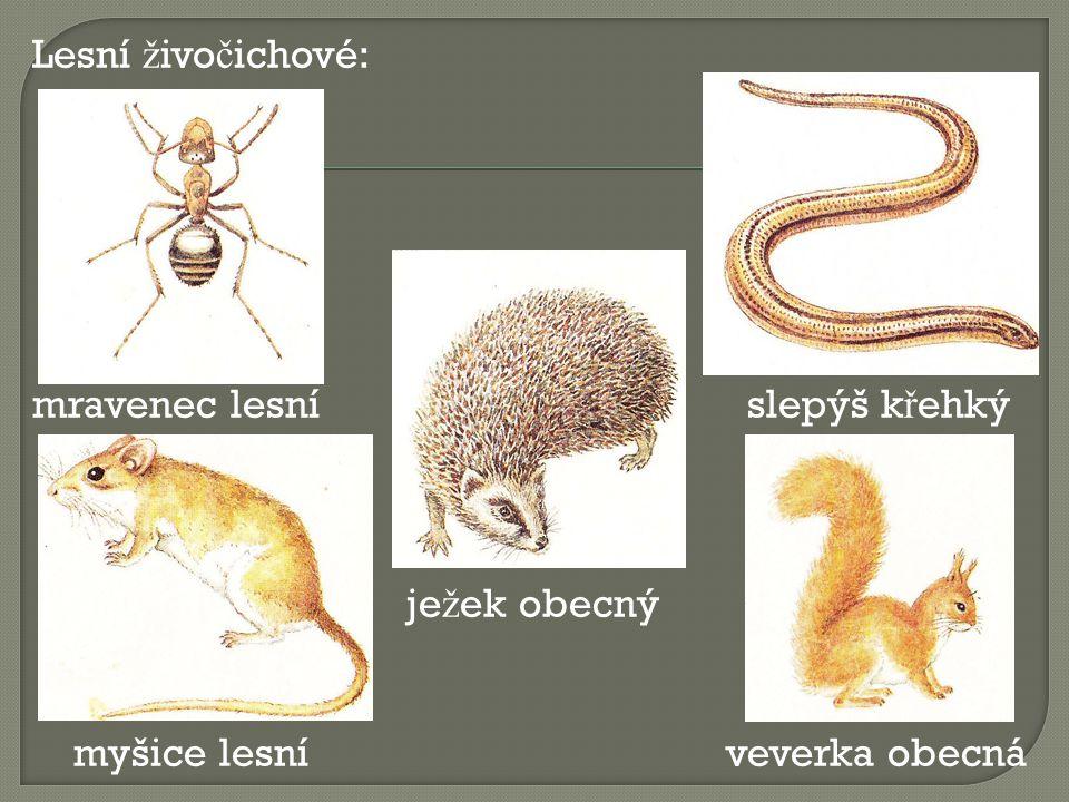 Lesní ž ivo č ichové: mravenec lesní slepýš k ř ehký je ž ek obecný myšice lesní veverka obecná