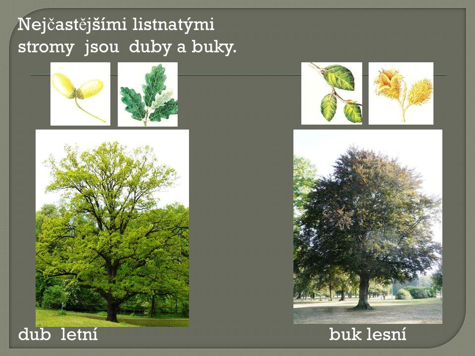 Nej č ast ě jšími listnatými stromy jsou duby a buky. dub letní buk lesní