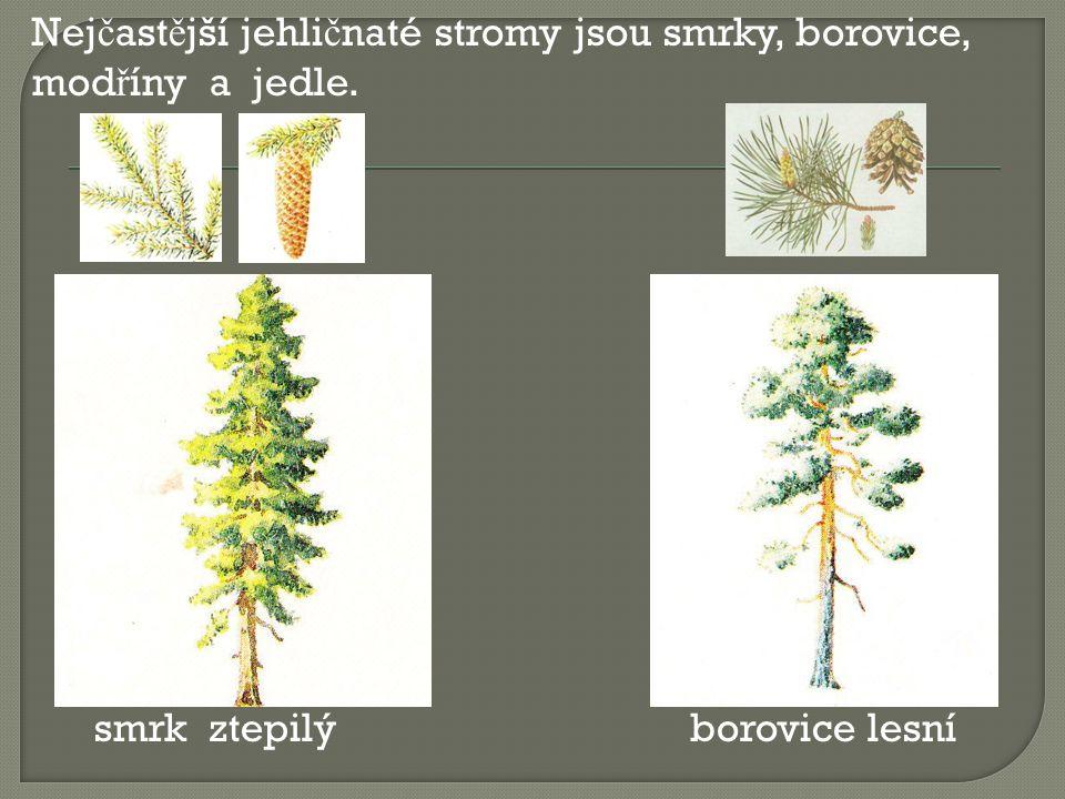 Nej č ast ě jší jehli č naté stromy jsou smrky, borovice, mod ř íny a jedle. smrk ztepilý borovice lesní