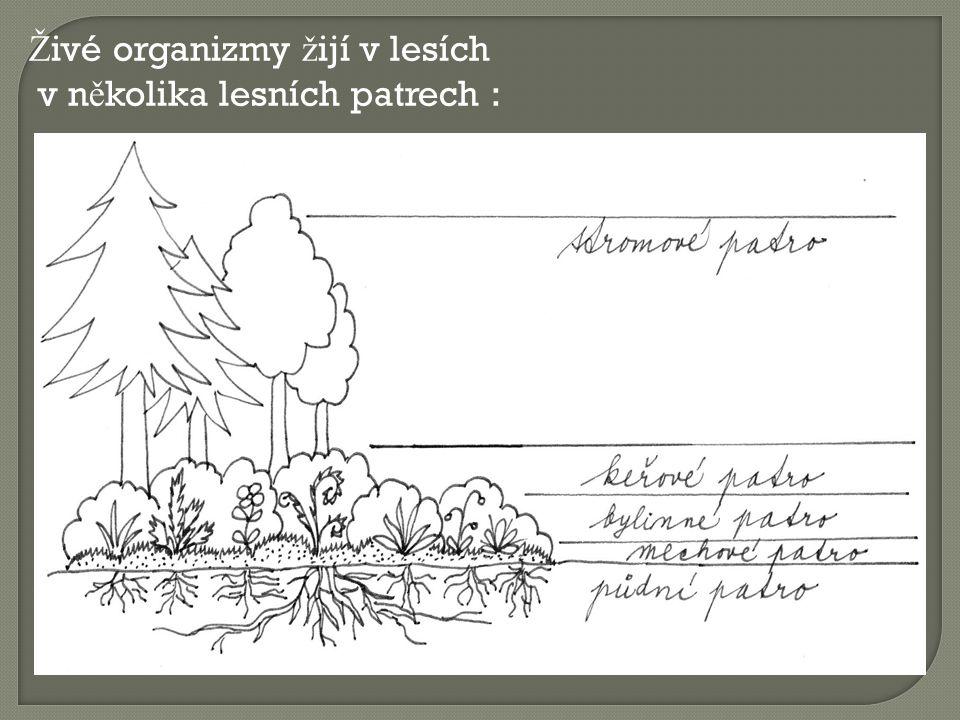 Lesní plody : ostru ž iník maliník ostru ž iník k ř ovitý brusnice bor ů vka jahodník obecný