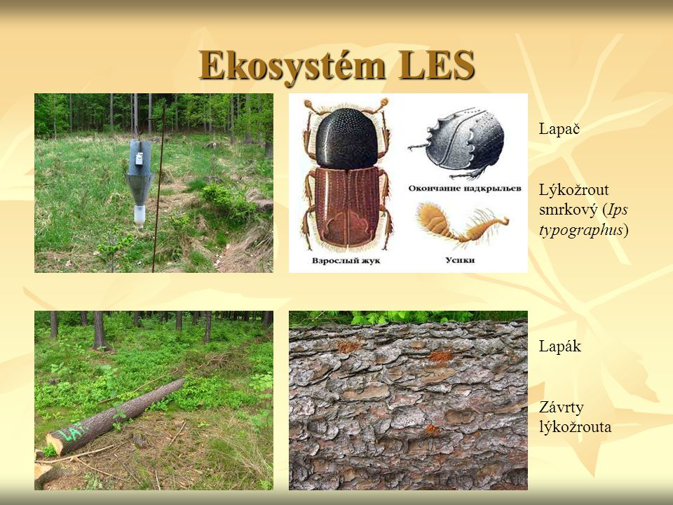 Ekosystém LES Lapač Lýkožrout smrkový (Ips typographus) Lapák Závrty lýkožrouta