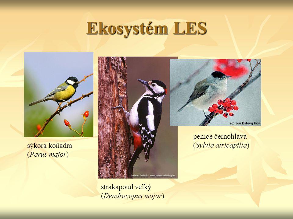 Ekosystém LES sýkora koňadra (Parus major) strakapoud velký (Dendrocopus major) pěnice černohlavá (Sylvia atricapilla)