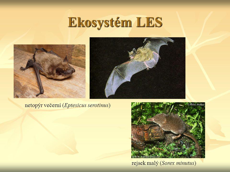 Ekosystém LES netopýr večerní (Eptesicus serotinus) rejsek malý (Sorex minutus)
