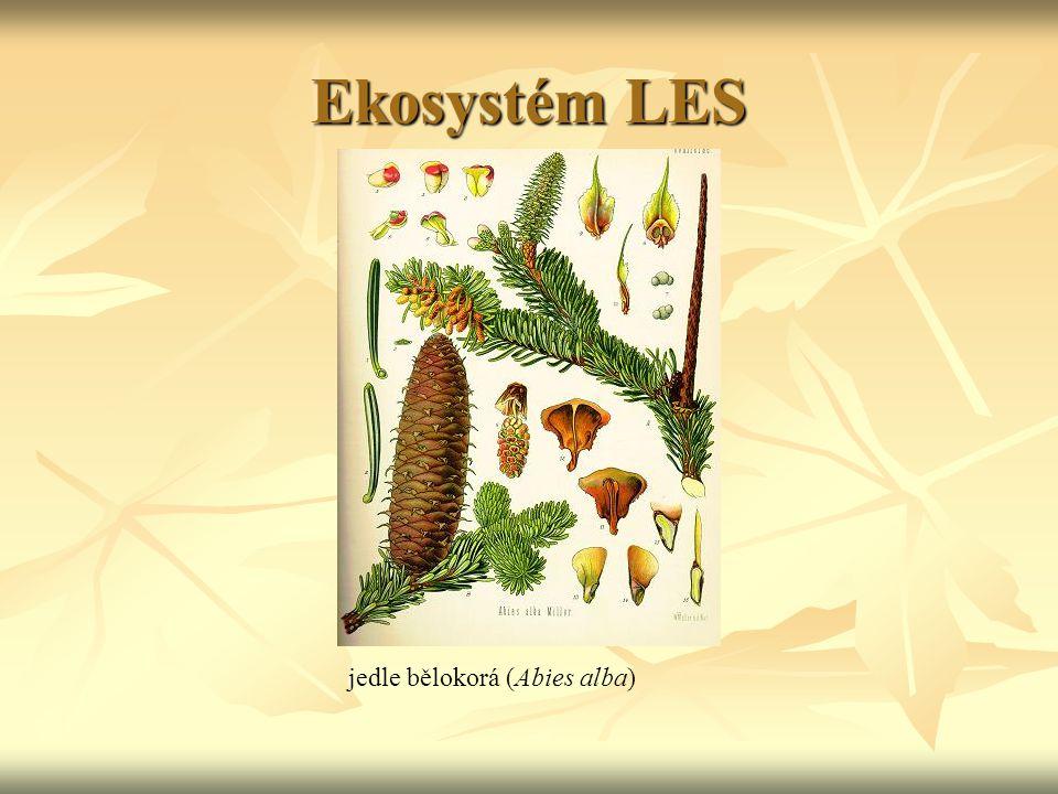 Ekosystém LES jedle bělokorá (Abies alba)