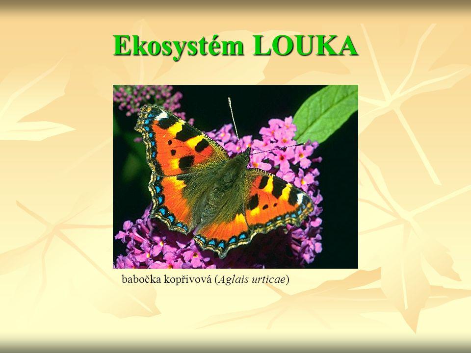 Ekosystém LOUKA babočka kopřivová (Aglais urticae)
