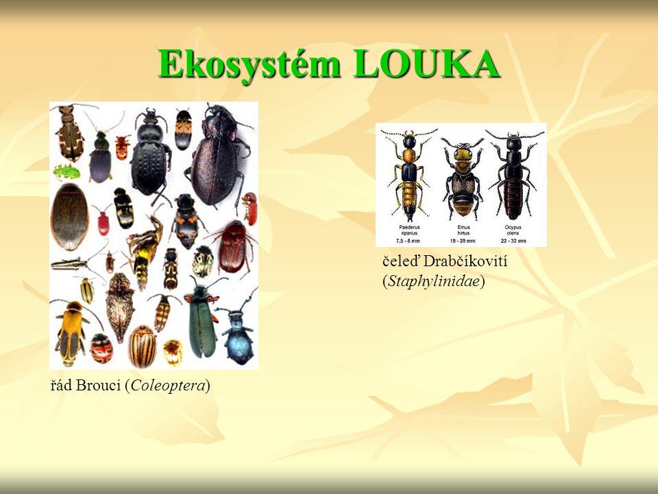 Ekosystém LOUKA řád Brouci (Coleoptera) čeleď Drabčíkovití (Staphylinidae)