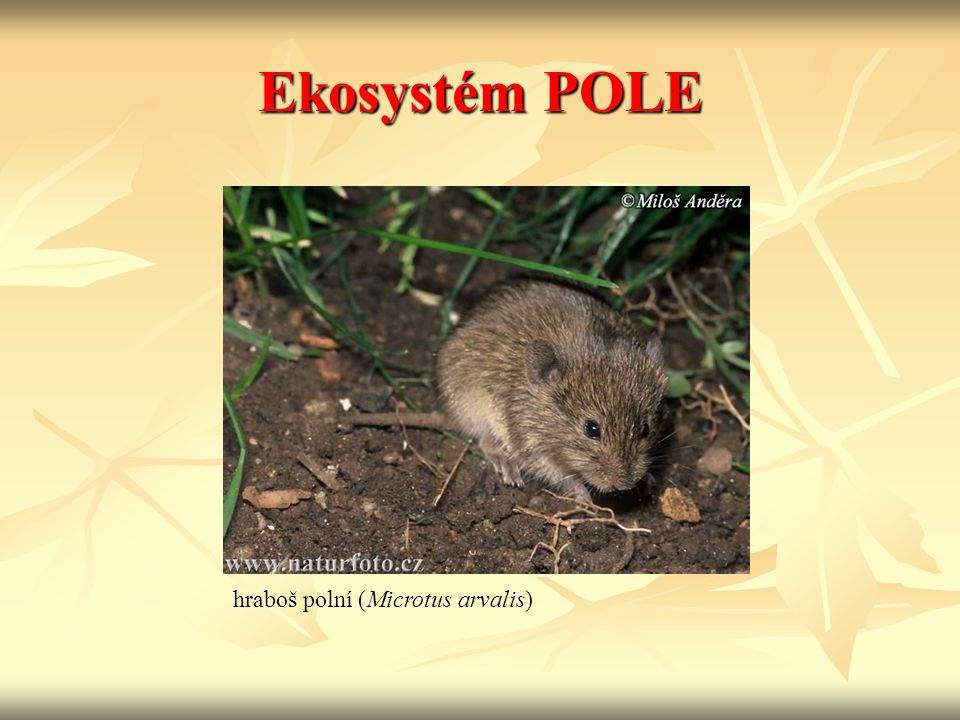 Ekosystém POLE hraboš polní (Microtus arvalis)