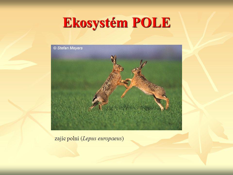 Ekosystém POLE zajíc polní (Lepus europaeus)