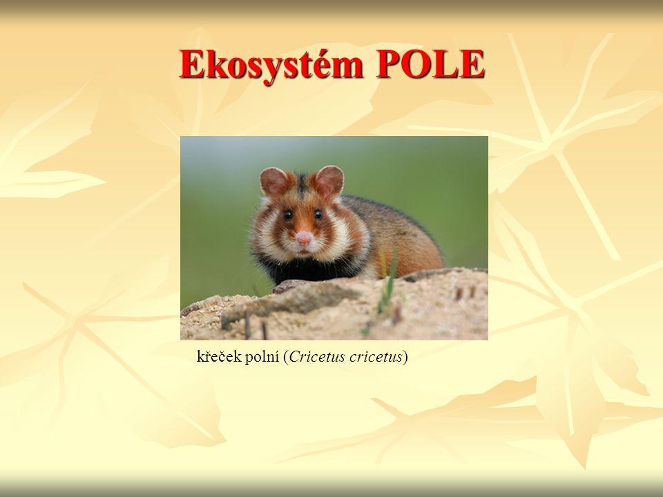 Ekosystém POLE křeček polní (Cricetus cricetus)