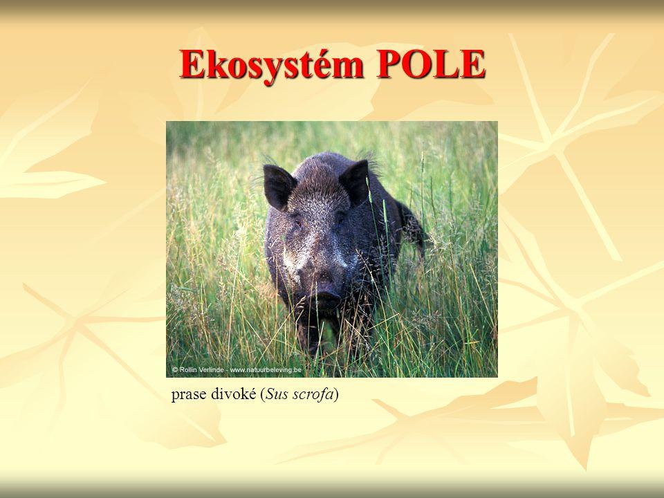 Ekosystém POLE prase divoké (Sus scrofa)