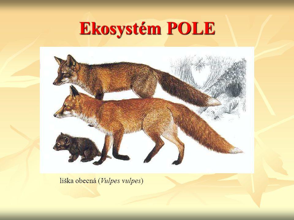 Ekosystém POLE liška obecná (Vulpes vulpes)