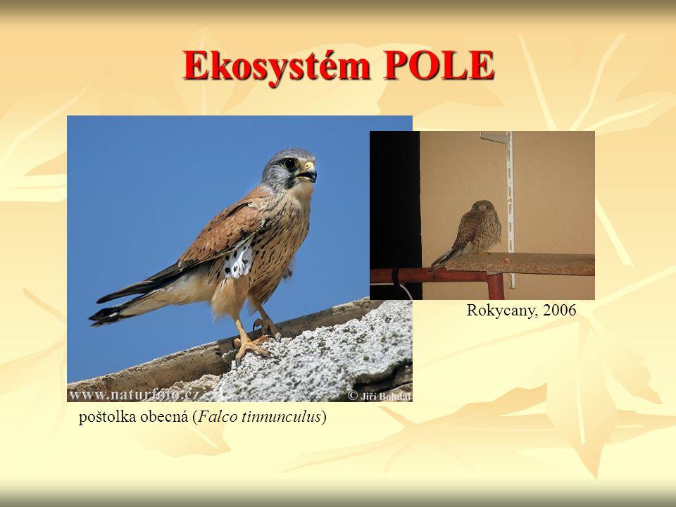 Ekosystém POLE poštolka obecná (Falco tinnunculus) Rokycany, 2006