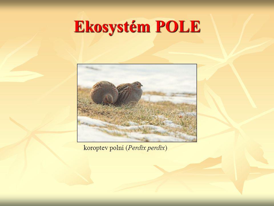 Ekosystém POLE koroptev polní (Perdix perdix)