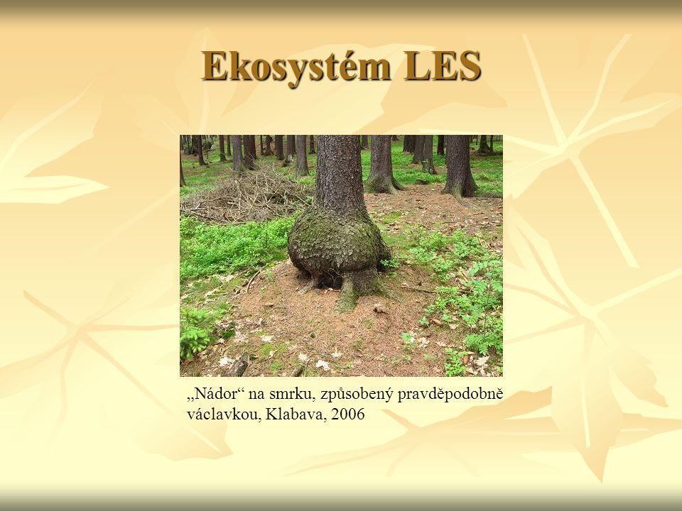"""Ekosystém LES """"Nádor na smrku, způsobený pravděpodobně václavkou, Klabava, 2006"""