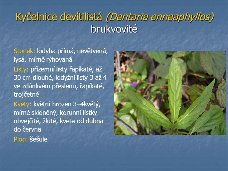Kyčelnice devítilistá (Dentaria enneaphyllos) brukvovité Stonek: lodyha přímá, nevětvená, lysá, mírně rýhovaná Listy: přízemní listy řapíkaté, až 30 c