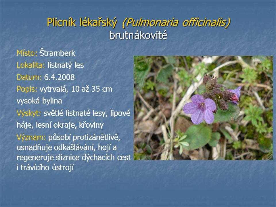 Plicník lékařský (Pulmonaria officinalis) brutnákovité Místo: Štramberk Lokalita: listnatý les Datum: 6.4.2008 Popis: vytrvalá, 10 až 35 cm vysoká byl