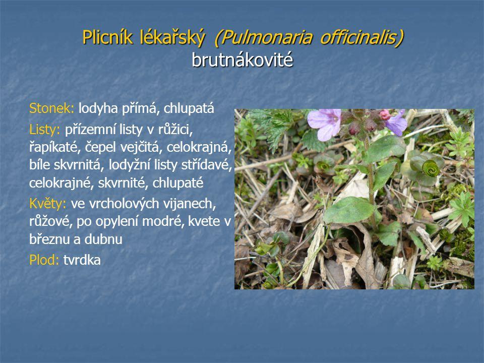 Plicník lékařský (Pulmonaria officinalis) brutnákovité Stonek: lodyha přímá, chlupatá Listy: přízemní listy v růžici, řapíkaté, čepel vejčitá, celokra