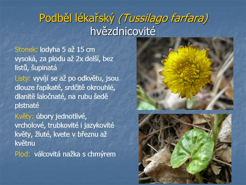 Podběl lékařský (Tussilago farfara) hvězdnicovité Stonek: lodyha 5 až 15 cm vysoká, za plodu až 2x delší, bez listů, šupinatá Listy: vyvíjí se až po o