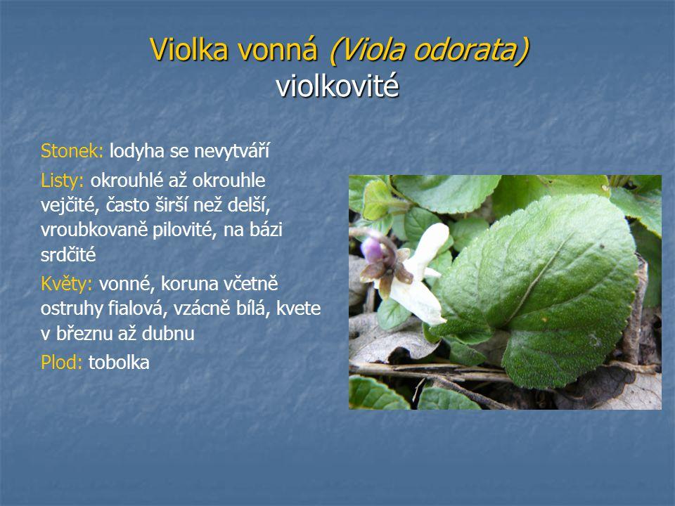 Violka vonná (Viola odorata) violkovité Stonek: lodyha se nevytváří Listy: okrouhlé až okrouhle vejčité, často širší než delší, vroubkovaně pilovité,