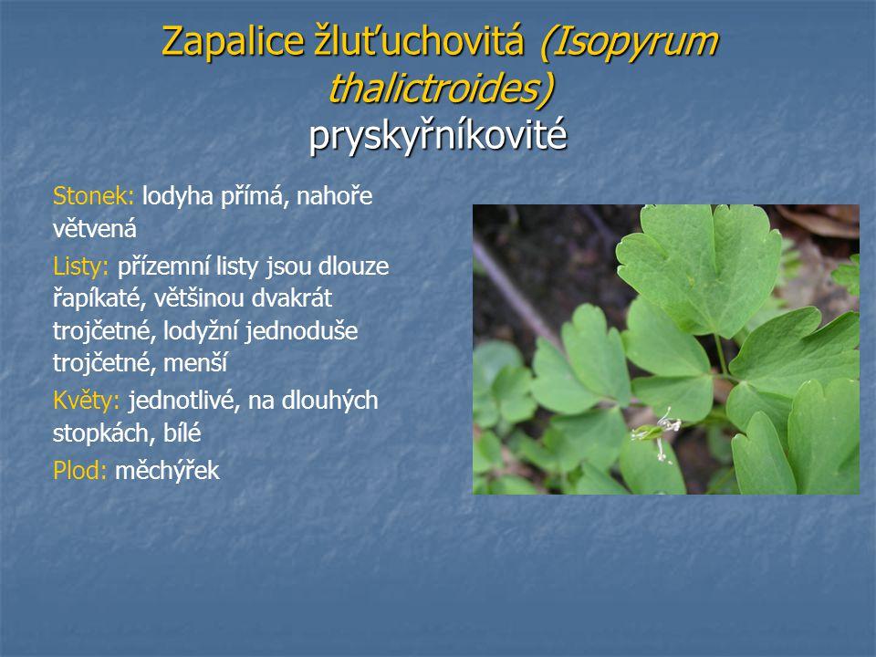 Zapalice žluťuchovitá (Isopyrum thalictroides) pryskyřníkovité Stonek: lodyha přímá, nahoře větvená Listy: přízemní listy jsou dlouze řapíkaté, většin