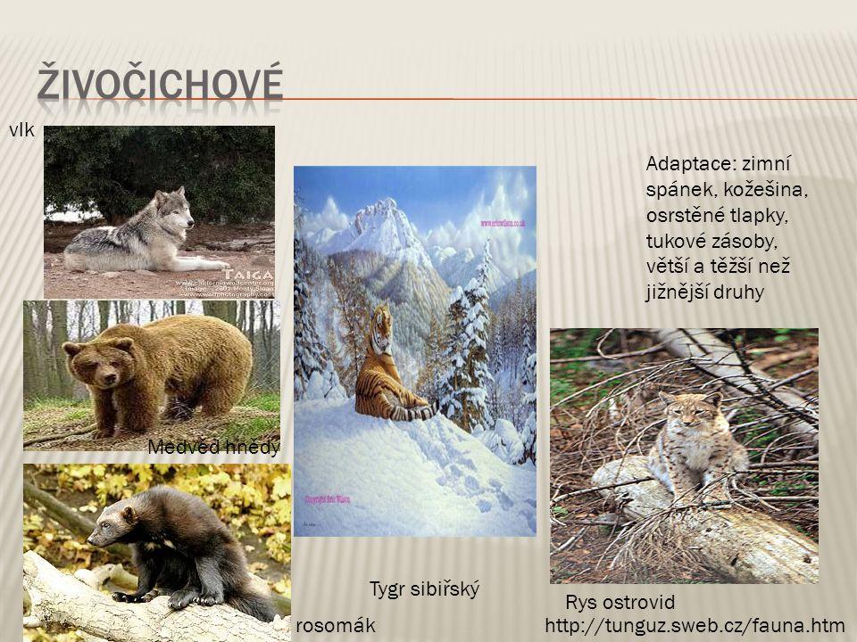 vlk Tygr sibiřský Adaptace: zimní spánek, kožešina, osrstěné tlapky, tukové zásoby, větší a těžší než jižnější druhy Medvěd hnědý Rys ostrovid http://