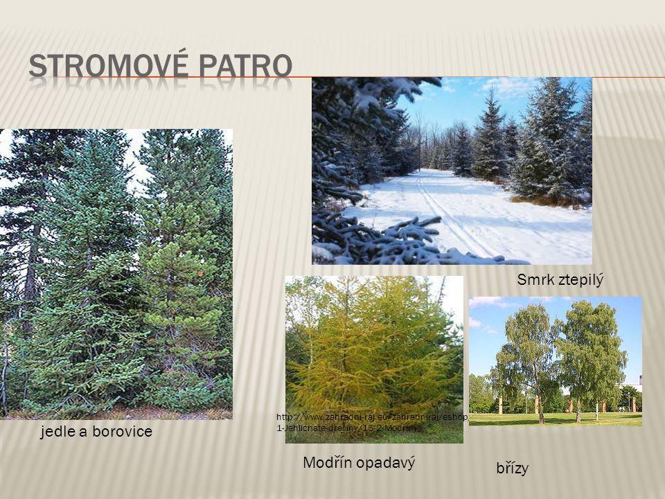 jedle a borovice Modřín opadavý http://www.zahradni-raj.eu/zahradniraj/eshop/4- 1-Jehlicnate-dreviny/15-2-Modriny Smrk ztepilý břízy