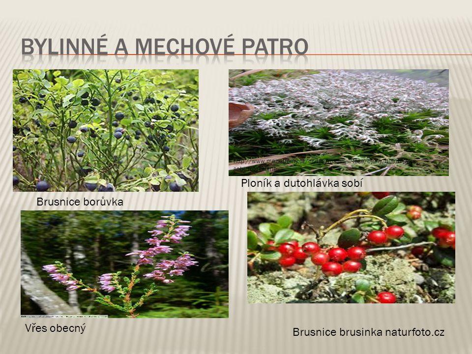 Brusnice borůvka http://www.blizprirode.cz/en/encyclopedia/plants/list- plants/brusnice-boruvka.html Vřes obecný Ploník a dutohlávka sobí http://www.m