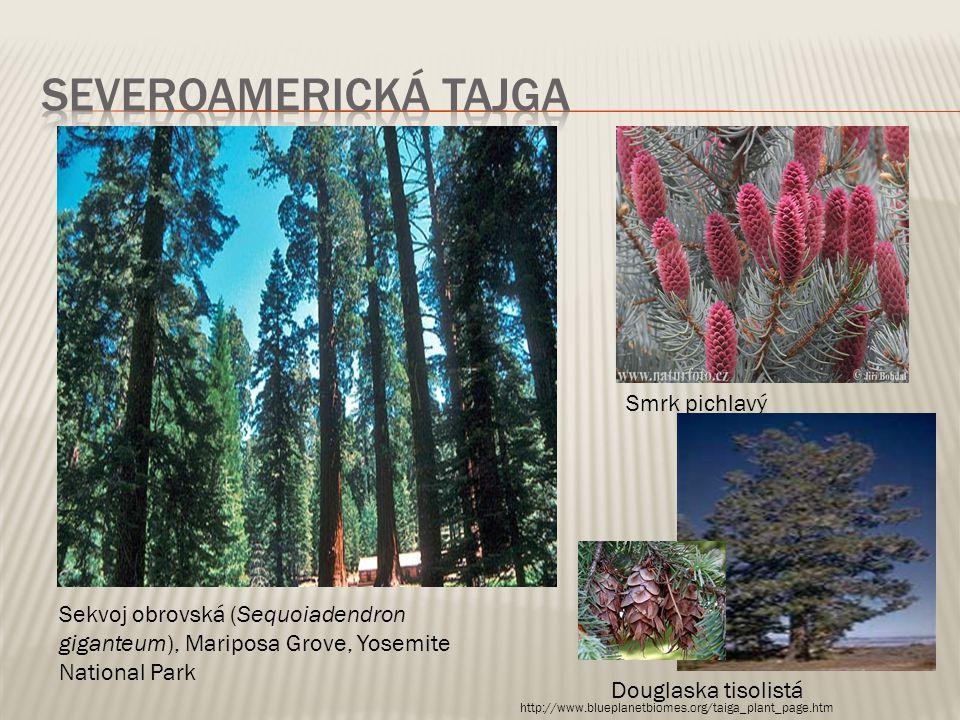 Sekvoj obrovská (Sequoiadendron giganteum), Mariposa Grove, Yosemite National Park Smrk pichlavý Douglaska tisolistá http://www.blueplanetbiomes.org/t