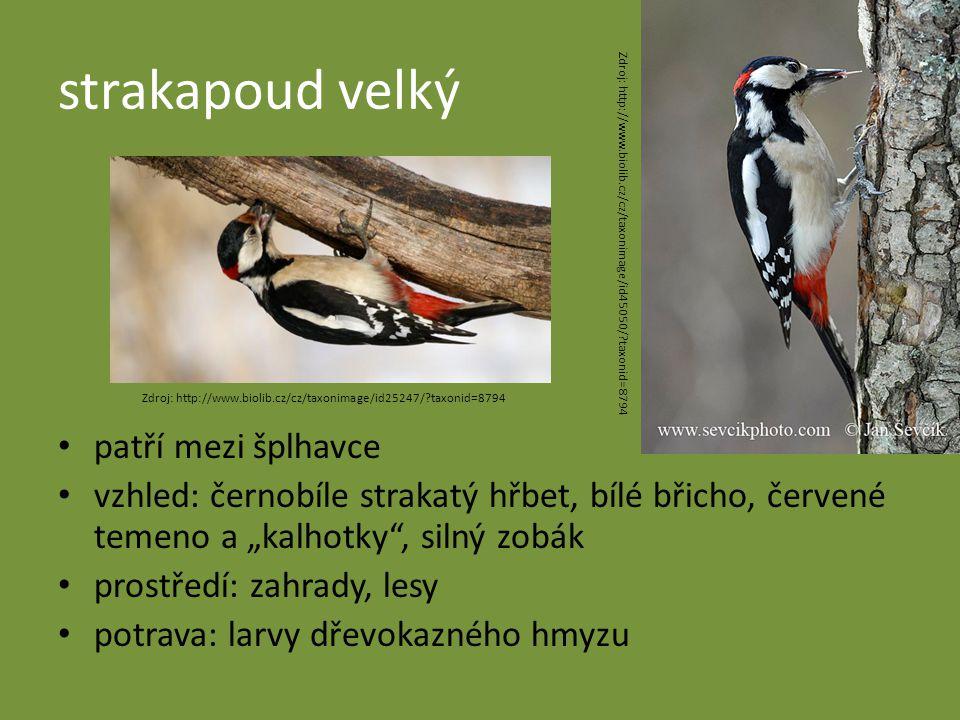 """strakapoud velký patří mezi šplhavce vzhled: černobíle strakatý hřbet, bílé břicho, červené temeno a """"kalhotky , silný zobák prostředí: zahrady, lesy potrava: larvy dřevokazného hmyzu Zdroj: http://www.biolib.cz/cz/taxonimage/id45050/?taxonid=8794 Zdroj: http://www.biolib.cz/cz/taxonimage/id25247/?taxonid=8794"""