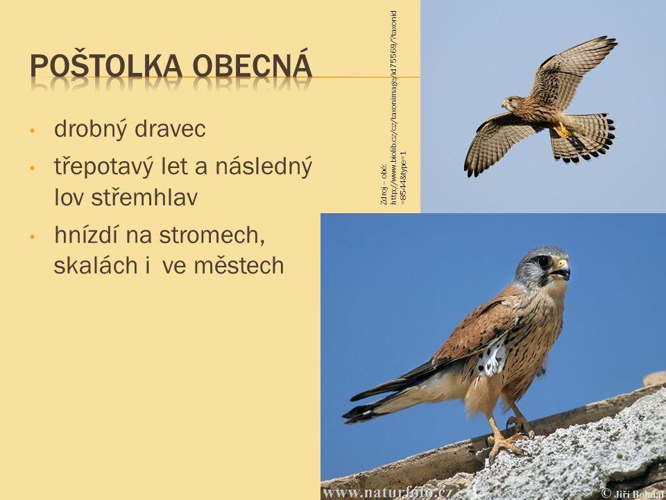 drobný dravec třepotavý let a následný lov střemhlav hnízdí na stromech, skalách i ve městech Zdroj – obě: http://www.biolib.cz/cz/taxonimage/id75569/?taxonid =8544&type=1