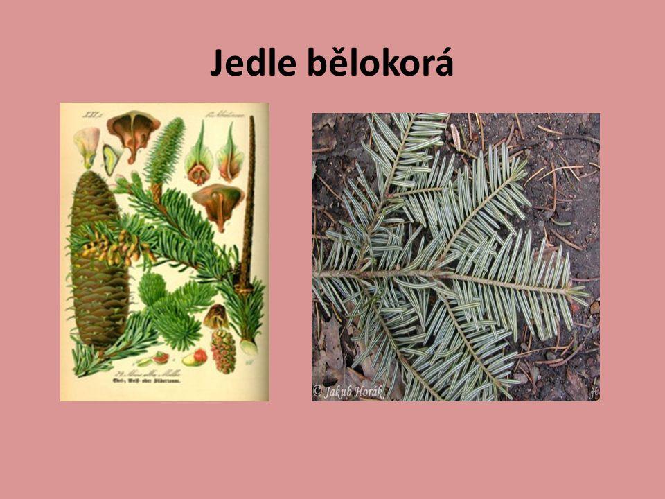 Zdroje : http://cs.wikipedia.org/wiki/Smrk_ztepil%C3%BD http://www.garten.cz/se/cz/fotoa-borovice+lesn%C3%AD/ http://www.biotox.cz/botanicus/index.php?id=bph_0107 http://cs.wikipedia.org/wiki/Jedle_b%C4%9Blokor%C3%A1 http://www.biolib.cz/cz/taxonimage/id22203/?taxonid=236 0 http://www.tichyphoto.com/foto-savci/rys-ostrovid/ http://www.priroda.cz/lexikon.php?detail=273 H.
