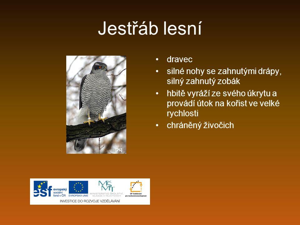 Jestřáb lesní dravec silné nohy se zahnutými drápy, silný zahnutý zobák hbitě vyráží ze svého úkrytu a provádí útok na kořist ve velké rychlosti chrán