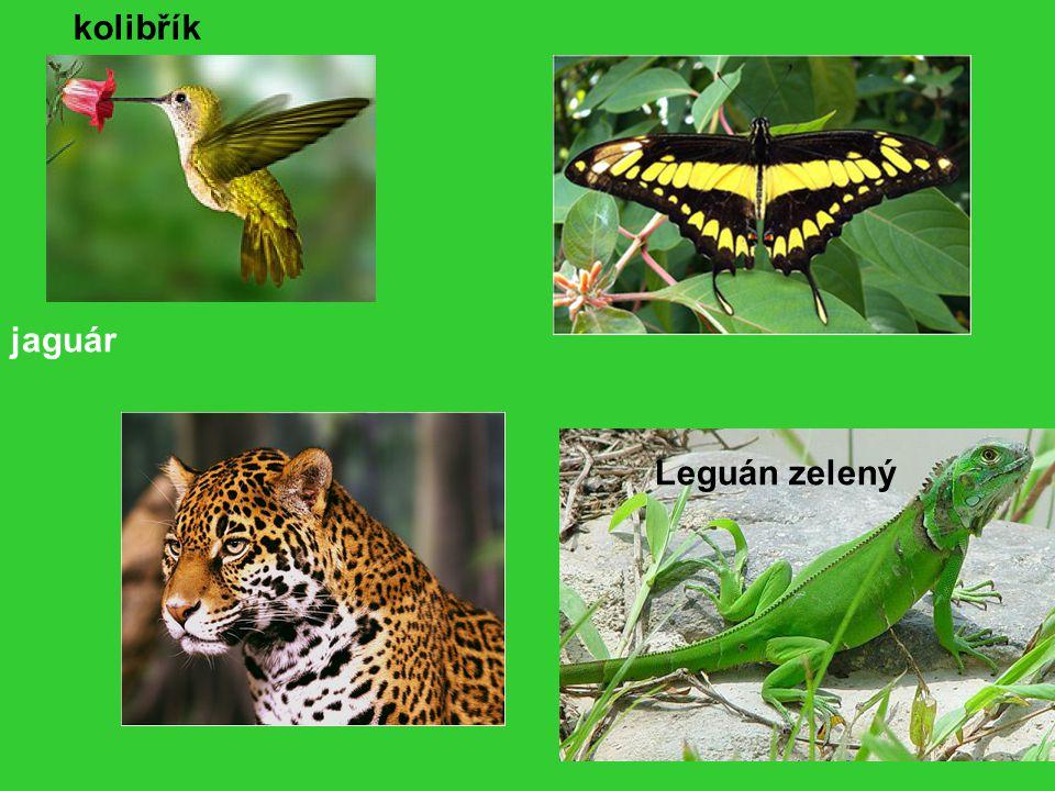 kolibřík jaguár Leguán zelený